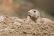 Prairie dog (genus Cynomys)