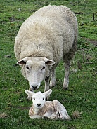 Perandale Sheep