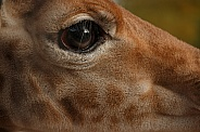 Close Up Of Baby Giraffe's Eye