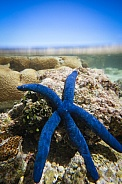Blue Linkia Starfish