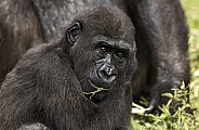 Western Lowland Gorilla Youngster