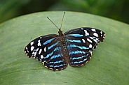 Blue banded Purplewing