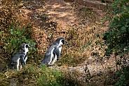 two humboldt penguins
