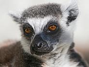 Catta Lemur