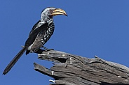 Yellow billed Hornbill (Tockus flavirostris)