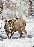 Mule deer, Odocoileus hemionus, Cervidae