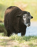 Black Herdwick cross Lamb