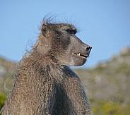 Male Chacma Baboon