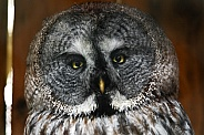 Great Grey Owl head shot