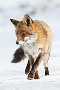 Red foxes in winter