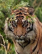 Sumatran Tiger Looking Through Plants