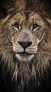 Lion profile
