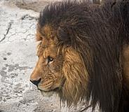 Lion Portrait (Male)
