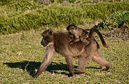Chacma Baboon mother and baby