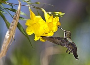 Hummingbird with Yellow Trumpet Flower