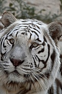 White Tiger up close