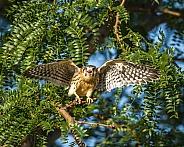 Festrel (falcon)New Wings