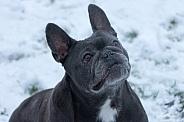 Blue French Bulldog Sitting Looking Upright