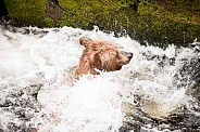 Adult grizzly bear swimming