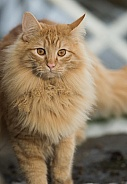 Light Tan Coloured Cat