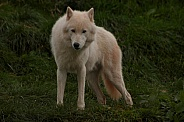 Arctic Wolf Standing