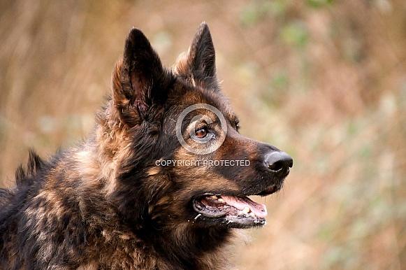 Old Germen Shepherd