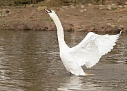 Mute Swan Stretching Backwards