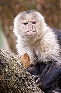 Colombian white-faced capuchin (Cebus capucinus)