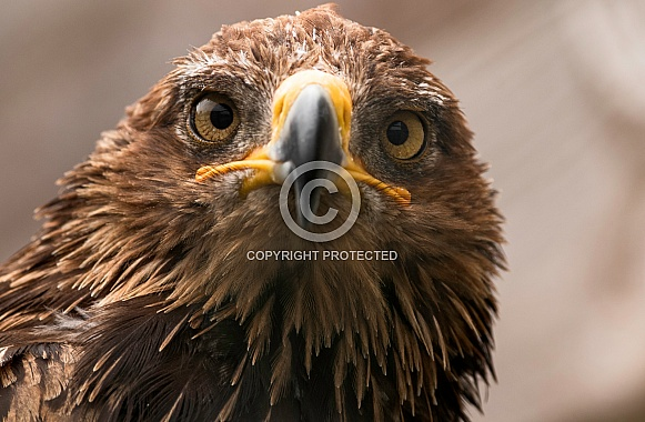 Golden Eagle Head Shot