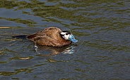 Male White-headed Duck