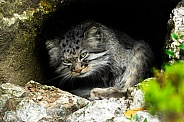 Pallas cat, looking at camera in den