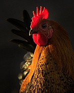 Cockerel Portrait