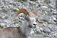 Big Horn Sheep, close up