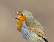 A singing Robin Portrait