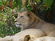 East African Lion