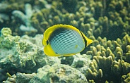 Yellow Butterflyfish