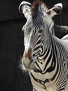 zebra black background