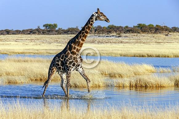 An adult male Giraffe (Giraffa camelopardalis)