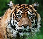 Tiger Blijdorp