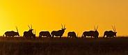 Gemsbok at sunset