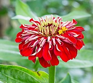 A Striking Contrast of a Zinnia
