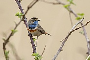A bluethroat
