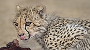 Cheetah cub licking its lips