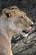 Lioness - Botswana - Africa