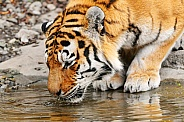 Amur Tiger Drinking
