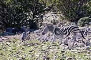 Zebra Trot