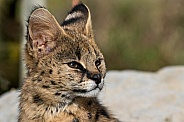 Young Serval Close Up Face Shot