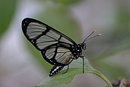 Giant Glasswing