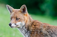 A Fox Portrait