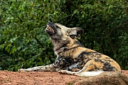 African Wild Dog Lying Down Full Body Teeth Showing